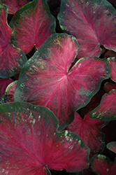 Heart's Delight Caladium (Caladium 'Heart's Delight') at DeWayne's