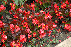 BabyWing® Red Begonia (Begonia 'BabyWing Red') at DeWayne's