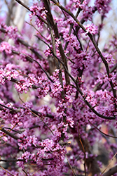 Ace Of Hearts Redbud (Cercis canadensis 'Ace Of Hearts') at DeWayne's