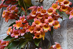 Tangerine Beauty Cross Vine (Bignonia capreolata 'Tangerine Beauty') at DeWayne's