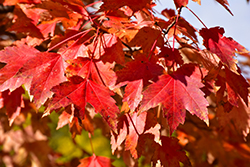 Sun Valley Red Maple (Acer rubrum 'Sun Valley') at DeWayne's