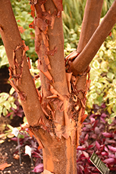 Paperbark Maple (Acer griseum) at DeWayne's