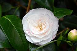 April Dawn Camellia (Camellia japonica 'April Dawn') at DeWayne's