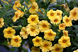 Callie® Gold with Red Eye Calibrachoa (Calibrachoa 'Callie Gold with Red Eye') at DeWayne's