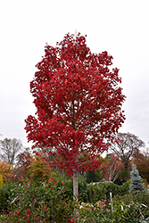 October Glory Red Maple (Acer rubrum 'October Glory') at DeWayne's