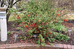 Double Take Orange™ Flowering Quince (Chaenomeles speciosa 'Double Take Orange Storm') at DeWayne's