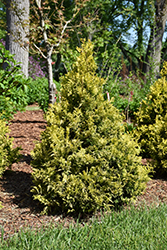 Soft Serve® Gold Falsecypress (Chamaecyparis pisifera 'FARROWCGMS') at DeWayne's